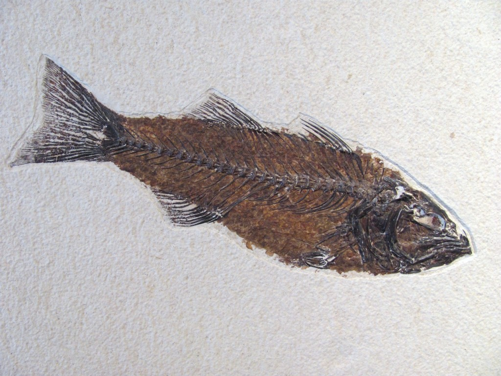 F0034-Fossil Fish Mioplosus Species