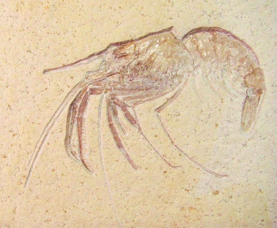 F0076 - Fossil Shrimp from Germany
