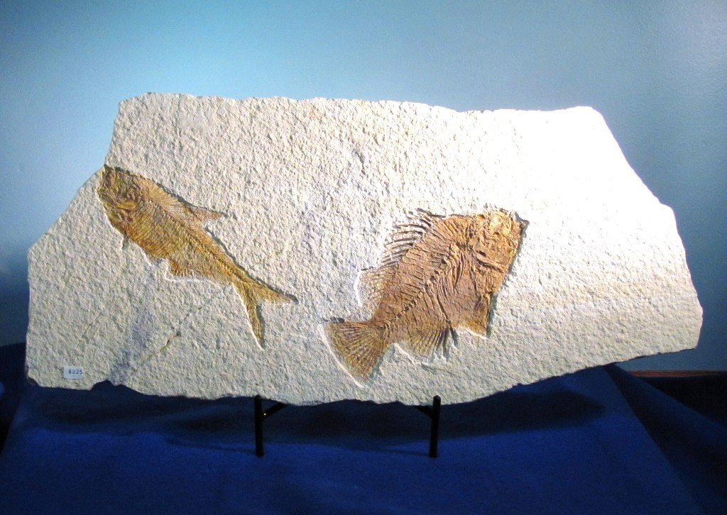 F0081 - Fossil Fish Pair from Wyoming (SOLD)