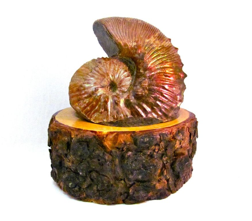 F0095 - Ammonite from South Dakota on Wooden Base