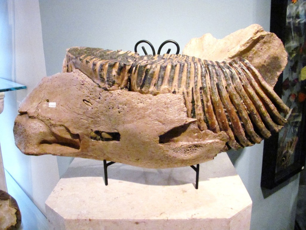 F0106 - Partial Woolly Mammoth Jaw (SOLD)