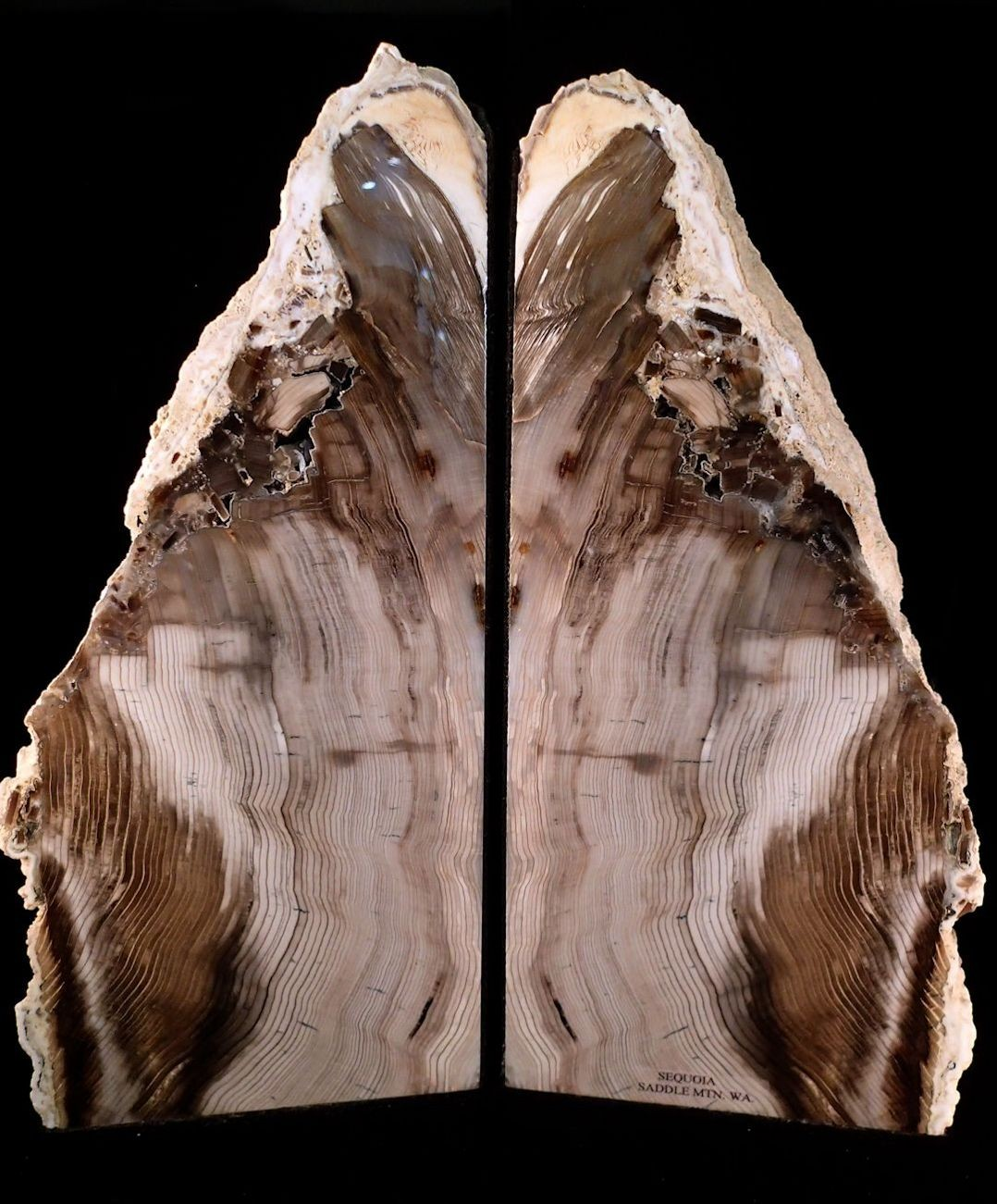 F0171 Petrified wood (Sequoia sp.) bookends from Washington State (SOLD)