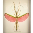 Hd0245 Marmessoidea rosea Framed Insect (SOLD)