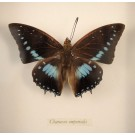 Hd0244 Imperial Blue Charaxes