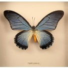 Hd0243 Giant Blue Swallowtail Butterfly  (SOLD)
