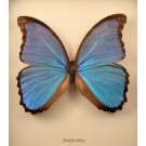 Hd0241 Giant Blue Morpho Butterfly