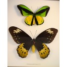 Hd0272 Ornithoptera goliath Samson Framed Butterfly Pair