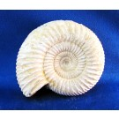 F0087 - Chalky White Ammonite from Morocco