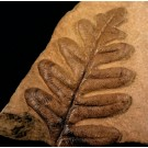 F0158 Fossil Fern Alethopteris grandini (SOLD)