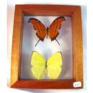 HD0045  Framed Marpesia petreus and Rhabdodryas trite (SOLD)