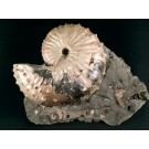 F0164 Fossil Ammonite Hoploscaphites nicoletti, Late Cretaceous, South Dakota